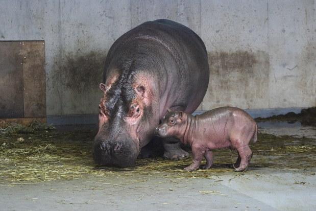 カバ の 赤ちゃん
