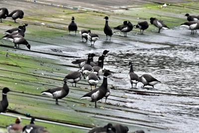 波打ち際に集まったコクガンの群れ=宮城県南三陸町泊浜漁港で