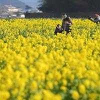 一面を黄色く彩った菜の花畑を散策する人たち=福岡県糸島市で2020年2月6日、津村豊和撮影