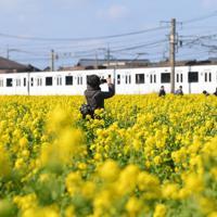 一面を黄色く彩った菜の花。わきを通るJR筑肥線の白い車両が映える=福岡県糸島市で2020年2月6日、津村豊和撮影
