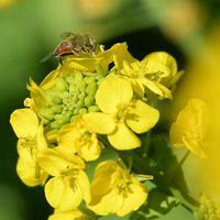 一面を彩る菜の花にミツバチも誘われている=福岡県糸島市で2020年2月6日、津村豊和撮影