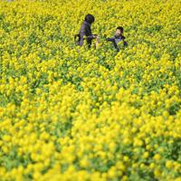 一面を黄色く彩った菜の花=福岡県糸島市で2020年2月6日、津村豊和撮影