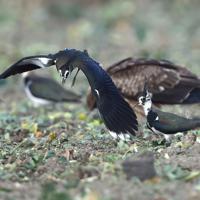 光沢のある翼を広げるタゲリ=長崎県諫早市で2020年2月8日、須賀川理撮影