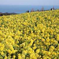 丘陵地帯に広がる早咲きのナノハナ=兵庫県淡路市で2020年2月11日、小出洋平撮影