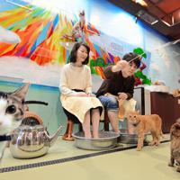 足湯につかりながら、猫と遊ぶことができるねこ浴場。おもちゃで遊ぶことも出来る=大阪市中央区で、望月亮一撮影