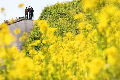 見ごろを迎えた菜の花を楽しむ人たち=千葉県富津市のマザー牧場で2020年2月5日午後0時16分、滝川大貴撮影