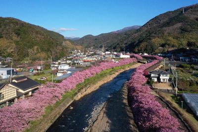 見ごろを迎えた河津川沿いの「河津桜」=静岡県河津町で2020年2月18日、小型無人機から小川昌宏撮影