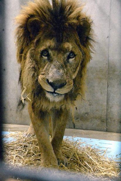Lion S Last Roar Japan S Oldest Big Cat Nile Gone But Memories Live On The Mainichi