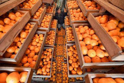 蔵の中の引き出しで出荷を待つ「蔵出しミカン」=奈良県明日香村で、山田尚弘撮影