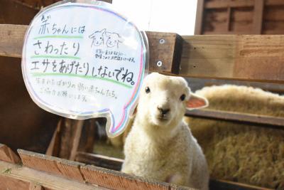 生後1カ月ほどの子羊=静岡県富士宮市で2020年2月21日午後3時8分、古川幸奈撮影