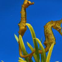 育児のうをもったタツノオトシゴのオス=名古屋港水族館提供