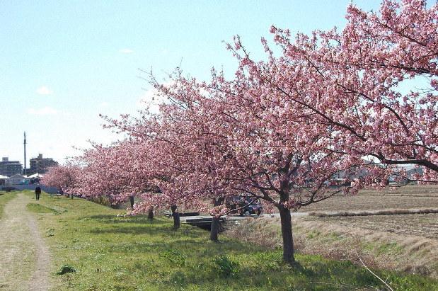 東京 河津 桜