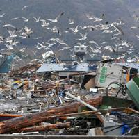被災した水産加工会社の魚を狙って集まったウミネコ=岩手県大船渡市で2011年3月26日午後2時7分、西本勝撮影