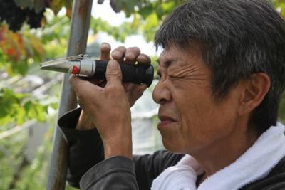 未知なる黒ブドウの糖度を確認し、収穫を思案する仲村現二さん=大阪府羽曳野市小ケ谷地区で2019年8月、高尾具成撮影