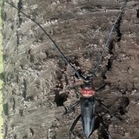 クビアカツヤカミキリの成虫=森林総合研究所提供