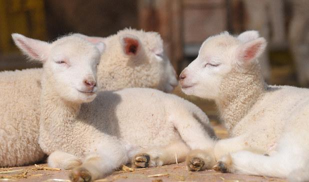 静かな牧場でウトウトひなたぼっこ 熊本・今春誕生の子羊7頭「来園待っ ...
