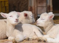 Lambs are seen relaxing in the sun at the Aso Milk Farm in the village of Nishihara, in Kumamoto Prefecture, on March 18, 2020. (Mainichi/Toyokazu Tsumura)
