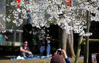 People are seen having a cherry blossom viewing party despite notices saying