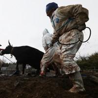 飼い主の依頼で牛の安楽死の処置を始める獣医師たち。この後、放射線被ばく影響の研究のため解剖された=福島県大熊町で2017年4月9日、小出洋平撮影