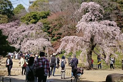 満開のしだれ桜=東京都文京区の小石川後楽園で2020年3月21日、伊藤和史撮影