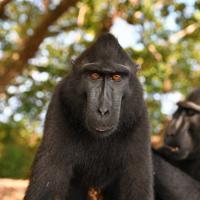 番組の一場面。インドネシア・スラウェシ島のクロザルは、人間のように表情を変えて仲間とコミュニケーションを図る
