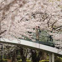 「外出自粛」を受けた東京ミッドタウン周辺。桜は満開だが、人影は少ない=東京都港区で2020年3月28日午後2時1分、小川昌宏撮影