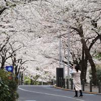 「外出自粛」を受け、人影が少ない六本木周辺。桜は満開だが、人影は多くない=東京都港区で2020年3月28日午後2時57分、小川昌宏撮影