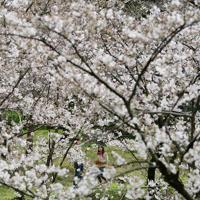 5分咲きとなった桜を鑑賞する人たち=福岡市中央区の西公園で2020年3月29日午前11時26分、須賀川理撮影