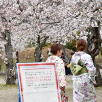 桜が見ごろを迎えている京都・円山公園=京都市東山区で2020年3月29日午後1時33分、川平愛撮影