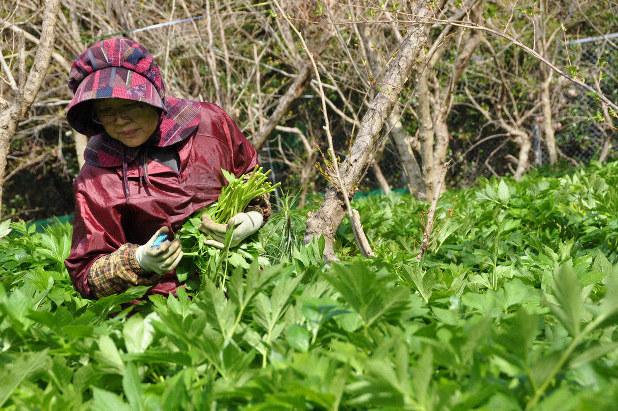 収穫 アシタバ