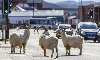 A herd of goats walk the quiet streets in Llandudno, north Wales, on March 31, 2020. A group of goats have been spotted walking around the deserted streets of the seaside town during the nationwide lockdown due to the coronavirus. (Pete Byrne/PA via AP)