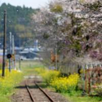 熊本地震で被災した南阿蘇鉄道は全線の約6割の区間が不通だが、桜と菜の花の景観は変わらない=熊本県南阿蘇村で2020年4月7日、津村豊和撮影