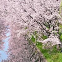 満開の桜並木の下、幼稚園の制服に身を包んだ兄妹が、母親のカメラに向かって笑顔を見せていた=京都市伏見区で、川平愛撮影