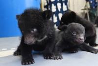 Asian black bear cubs born this year are seen at the Okuhida Kuma Bokujo bear park in the city of Takayama, Gifu Prefecture, on April 8, 2020. (Mainichi/Tadayuki Otake)
