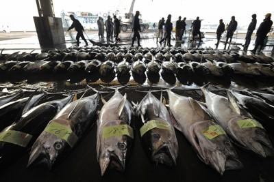 震災後初となるマグロのはえ縄船が塩釜市魚市場に入港し水揚げされた生鮮マグロ。競りの開始式では関係者全員が震災犠牲者に黙とうをささげた。通常より2~3割増しの高値となり、日本有数のマグロ基地が久々に活気を取り戻した=宮城県塩釜市で2011年4月14日午前7時13分、手塚耕一郎撮影