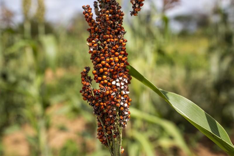 ケニアの穀物の茎に群がるバッタの大群 Bloomberg