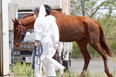 警戒区域内から区域外に運ばれ、馬主に引かれる相馬野馬追に出走する馬。栄養不足のためあばら骨が浮き出るほどやせて、毛並みが乱れていた=福島県南相馬市の馬事公苑で2011年5月2日午前11時46分、武市公孝撮影