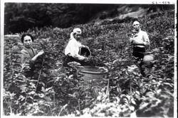 桑の摘み取り作業をする人々=1935年