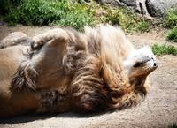 The male lion Gaou is seen relaxing in the sun at Osaka Tennoji Zoo in Osaka's Tennoji Ward, on April 23, 2020. (Mainichi/Ryoichi Mochizuki)