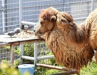 A camel and some pigeons share a meal at Osaka Tennoji Zoo in Osaka's Tennoji Ward, on April 23, 2020. (Mainichi/Ryoichi Mochizuki)