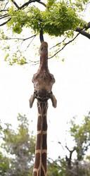 A giraffe stretches out its long tongue to eat some leaves, at Osaka Tennoji Zoo in Osaka's Tennoji Ward, on April 23, 2020. (Mainichi/Ryoichi Mochizuki)