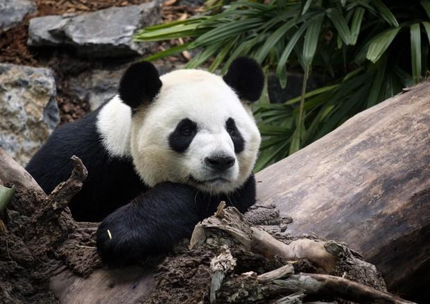 Calgary Zoo Returning Pandas To China Due To Bamboo Barriers The Mainichi