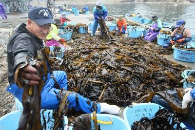 天然ワカメ漁が始まり、漁港で選別されるワカメ=岩手県宮古市重茂で2011年5月21日午前6時19分、加古信志撮影