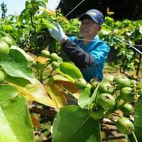 福島第1原発事故の影響で田植えが見送られ、ナシの摘果作業をする農家=福島県南相馬市で2011年5月24日午後1時37分、西村剛撮影