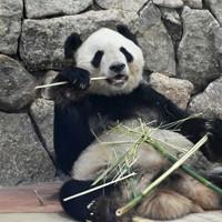 ジャイアントパンダの「永明」=和歌山県白浜町で2020年5月21日午前11時34分、北村隆夫撮影