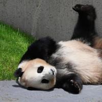 ジャイアントパンダの「結浜」=和歌山県白浜町で2020年5月21日午前11時28分、北村隆夫撮影