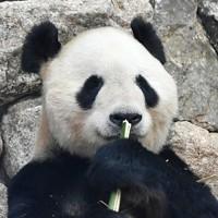 ジャイアントパンダの「永明」=和歌山県白浜町で2020年5月21日午前11時35分、北村隆夫撮影