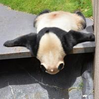 ジャイアントパンダの「結浜」=和歌山県白浜町で2020年5月21日午前11時40分、北村隆夫撮影