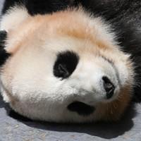 ジャイアントパンダの「結浜」=和歌山県白浜町で2020年5月21日午前11時29分、北村隆夫撮影