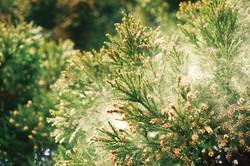 スギ花粉に悩まされるようになったのは、この数十年のこと